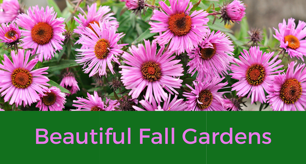Image of Purple Asters with the text 'Beautiful Fall Gardens'