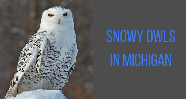Snowy Owls banner